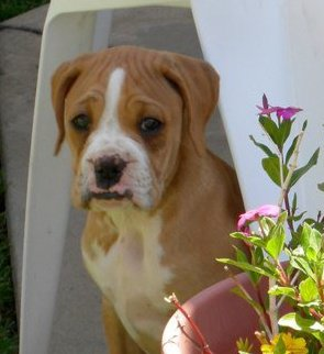 rocco cute boxer puppy dog