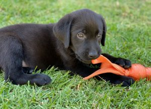 cute black lab puppy